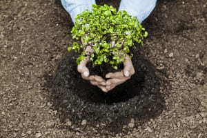 Man Planting A Tree Inside Soil Stock Photo